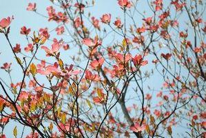 Kornell Vs.  Cherry Tree