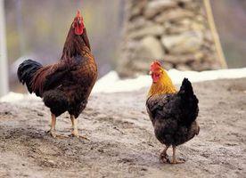 Hva er en høne og hva er en Fryer?