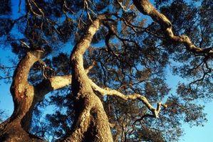 Boremaskiner i Live Oak Trees