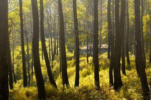 Hvorfor Pine Trees Produser Sap?