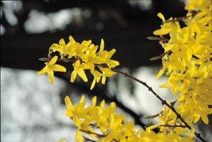 Hvordan identifisere Spring Blomstrende trær i Wisconsin