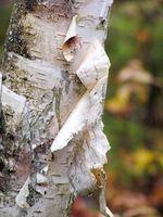 Birch Wood Informasjon