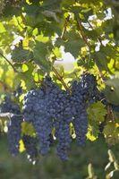 Planer for en Grape Arbor