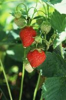 Har Jordbær Hold Splitte fra moren anlegget?