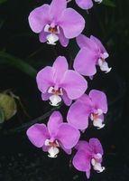 Hvor lenge vil blomstret Orchids Siste?