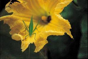 Hvordan identifisere Gresskar Flowers