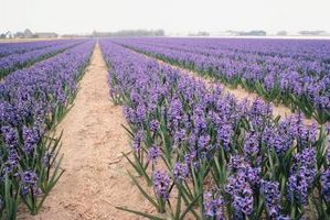 Hvor lenge du suge Hyacinth Seeds Før Planting Do?
