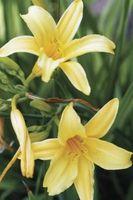 Hvorfor er Daylilies Blooming, så Dying?