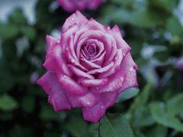 rosebusker gis bort