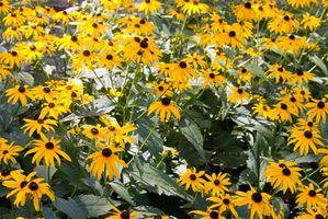 Hvordan Plant Rudbeckia Blomster i en grønnsakshage
