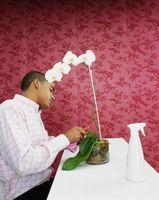 Hvorfor Orchid Leaves Få Limp?