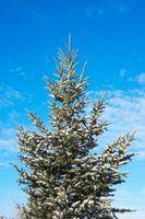 Hvordan Plant Norge Spruce Seeds