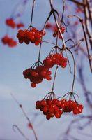 Hvordan Pollard en Cherry Tree