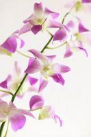 Hvordan Grow Orchid Doritaenopsis