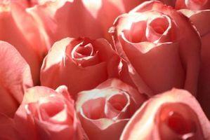 Hvordan Ordne Roses tett sammen