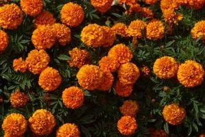 Hvor lenge før Sanne bladene vises på Marigolds?