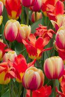 Hvordan Grow Tulip pærer innendørs