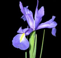Hvordan Plant Blå Dutch Iris i containere