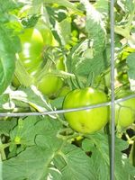 Kan du beskjære en tomatplante for mye?