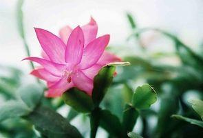 Gjødsel for Orchid Cactus