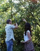 Størrelsen på en Apple Tree og Valuta Vekst
