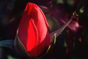 Slik flytter en Rose Plant i januar