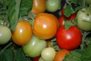 Året rundt tomatplanter
