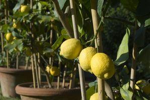 Hvordan Grow frukttrær på sine egne Roots