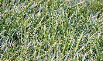 Slik fjerner Grass Flekker fra White Jeans