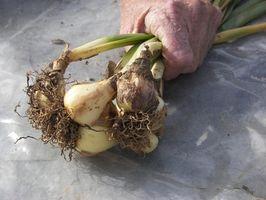 How Are Plant pærer Made?