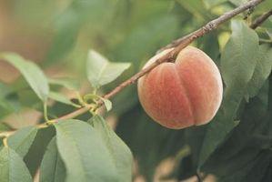 Hvordan Plant & Prune Bare Root Peach Trees