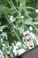 Hva er galt med My Yellow Pepper Plant?