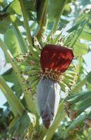 Hvor lenge før Banantrær Yield frukt?