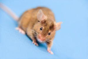 Hvordan få hjem rettsmidler for Mus og Rat Removal