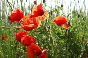 Hvordan Transplant Poppy Planter