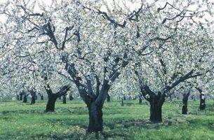 Hvordan å beskjære Young Apple Trees
