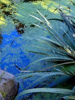 Når skal sette Flytende Planter i Vann i Spring for Zone 7A