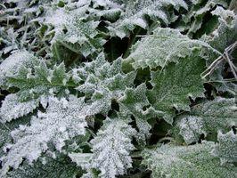 Slik beskytter planter og busker fra Frost