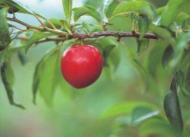 Hvordan å forplante Apple Trees