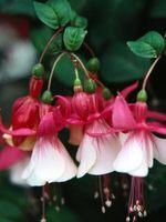 Hvordan Vann Fuchsia