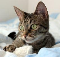 Hvordan beskytte plantene mot Cats