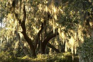 Pryd Weeping Dwarf Trees