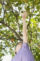 Livet Span av Semi-Dwarf appelsintrær