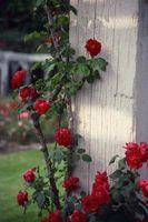 Hvordan Grow Tomater med roser