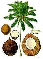 Hvordan kan et Coconut vokser?