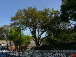 Hva å plante i skyggen av en Southern Oak Tree