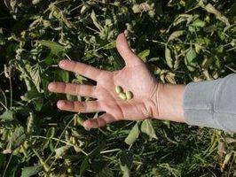 Hvordan Grow soyabønner
