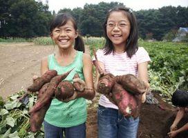 Hvordan Grow japansk søtpoteter og Potato Vines