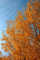 Trær for Landscaping