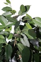 Hvite Worms i jorda av en Ficus Hus Plant